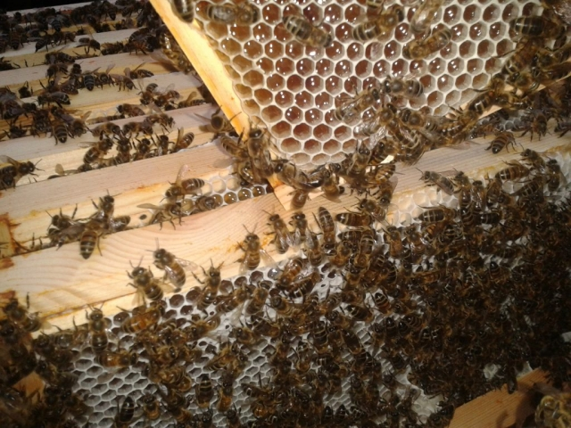 Bees are working on the honey. Some of the honeycomb cells are being sealed with fresh wax