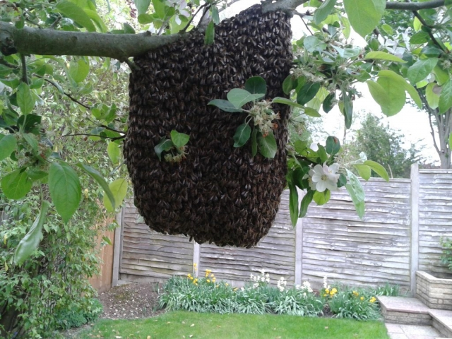A big swarm on the Apple tree.