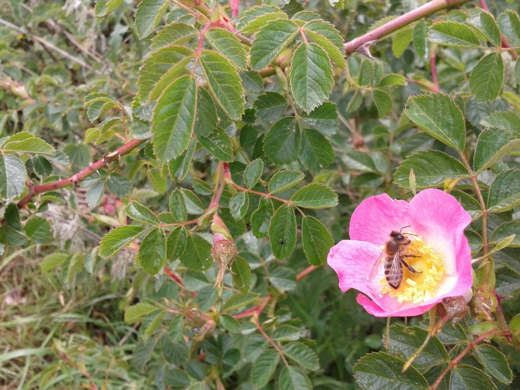 Our honey bee collecting pollen and nectar on a wild Rose