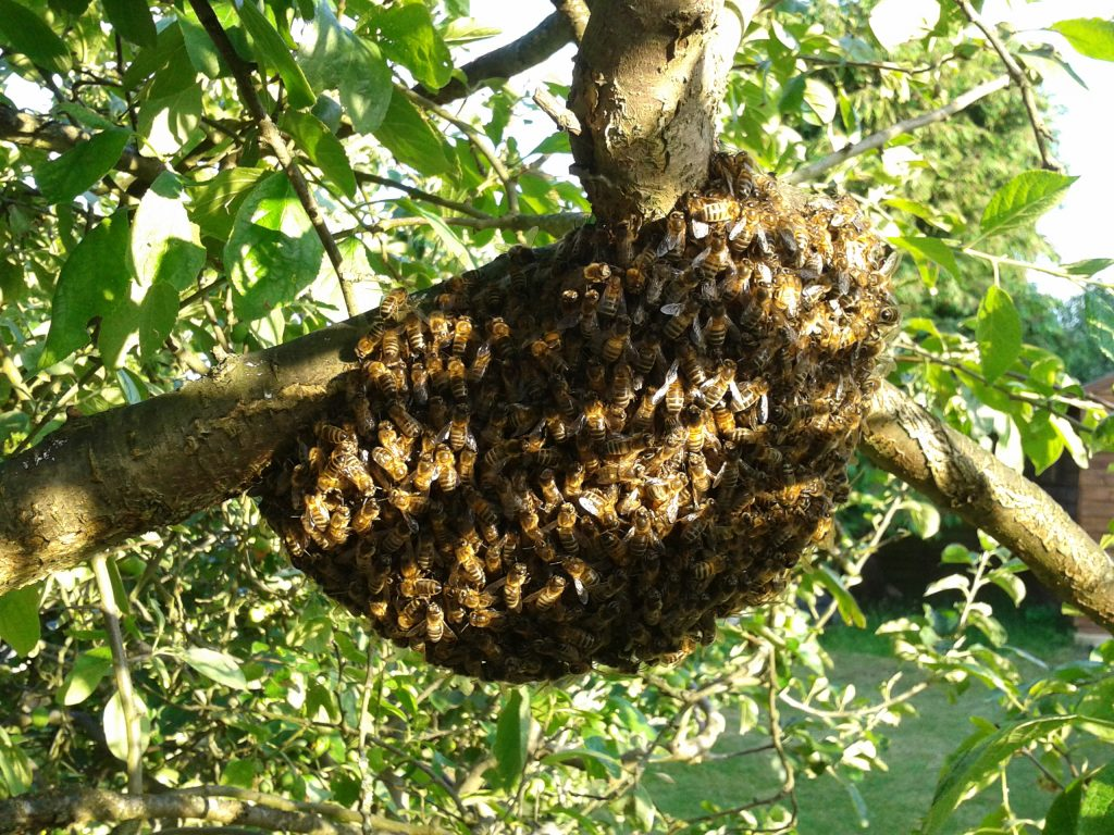 Small swarm on the fruit tree